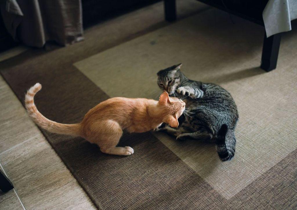 Как познакомить между собой двух кошек в доме? Лайфхаки, которые стоит записать