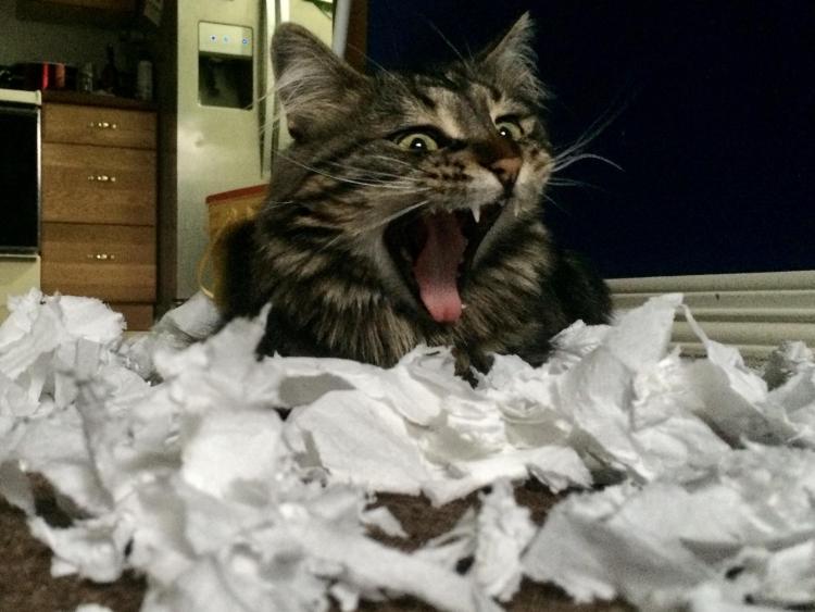 Коты VS тулетная бумага. Часть вторая. Кото-фото