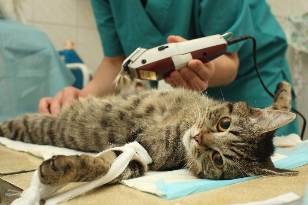 Что делать, если ваша питомица просит кота? Несколько советов, как успокоить животное. Стерилизация: за и против